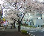 Sakuranamiki_2