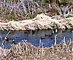 Water_birds