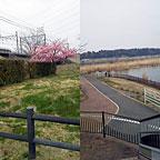 2015sakura_info