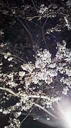 Kashiwa_yozakura