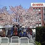 Sakura_kashiwa2015