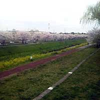 2016ooborisakura